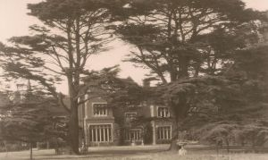 Cedar trees - 1920s